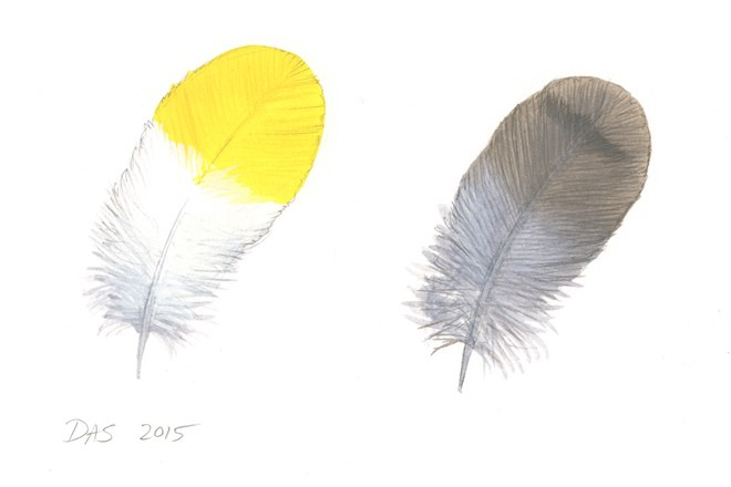 A House Wren's gray and brown feather absorbs light and looks drab and inconspicuous. An American Goldfinch's feather, by contrast, is designed to reflect light and be as bright as possible. Art by David Allen Sibley.