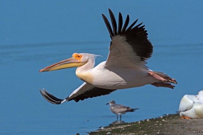 "Great White Pelican at J.N. ""Ding"" Darling NWR, near Fort Meyers, Florida, March 1, 2016, by Diane Doran."