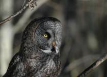 Gt-Gray-Owl-Hwy-546-AB