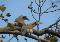 Indian-grey-hornbill