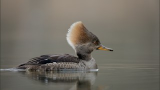 Hooded Merganser ~ female