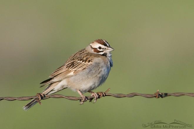 Lark Sparrow in Tooele County, Utah. Photo by Mia McPherson
