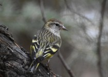 Pine-Siskin-Fish-Cr-Pk