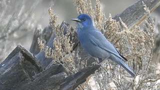 Pinyon Jay south of Hemet Lake, California, September 2011, by Mary Welty.