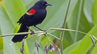 Red-winged Blackbird on fire flag in Green Cay Wetlands, Boynton Beach, Florida, by snooked.