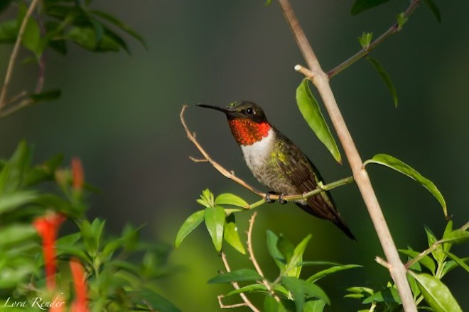 Ruby-throated Hummingbird by Lora Render.