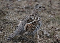 Ruffed-Grouse-Chain-Lakes