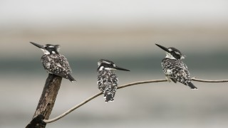 Three-Pied-Kingfishers_CMG2705_1200