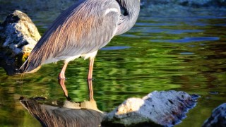 Tri-colored-heron