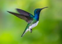 White-necked-Jacobin2