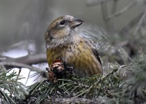 White-winged-Crossbill-Fish-Creek-Pk-1
