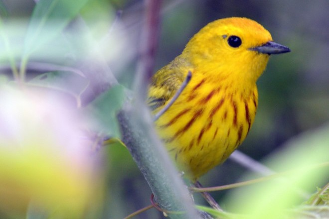 Yellow Warbler at Robert Moses State Park, Massena, New York, June 16, 2014, by xmailmand.