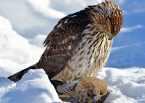 coopershawk4341-copy