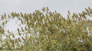 green-cay-and-waxwings-29-1