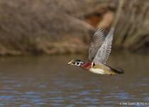 wood_duck_drake_flight-0053