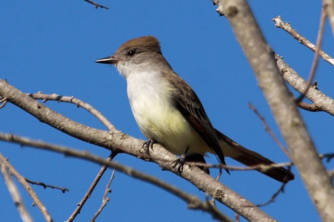 Ash-throated Flycatcher_660x440