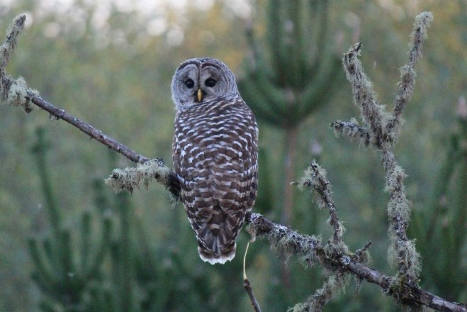 Barred Owl in Elma, Washington, by Tami Schreiner.
