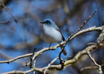 Blue-Gray-Gnatcatcher_filtered