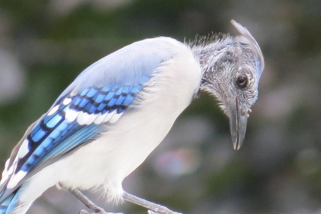Blue Jay by Kathy DeSantis.