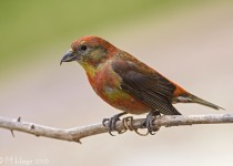 Red Crossbill, garden