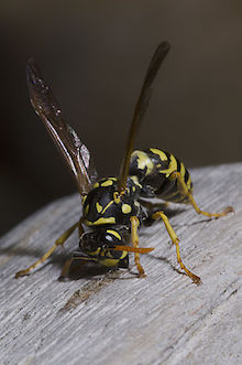 A European paper wasp grates wood fibers to be used building a nest. Photo by pjt56 (Wikimedia Commons).