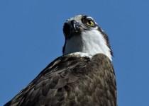 Osprey-Okanagan-Lake-2