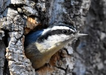 Red-beasted-Nuthatch-Fish-Cr-Pk