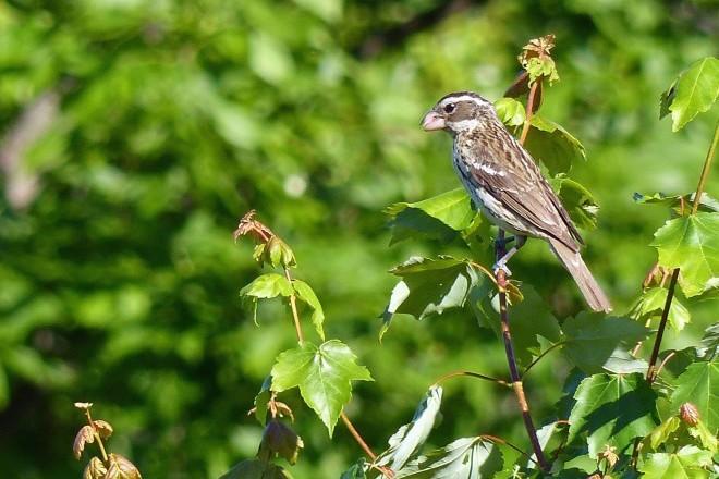 Rose-breasted Grosbeak Female_660x440