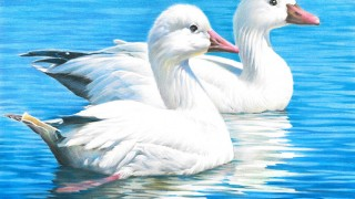 Snow Geese, by Stacy Shen, of Fremont, California, winner of the 2016 national Junior Duck Stamp Art Contest. Courtesy U.S. Fish and Wildlife Service.