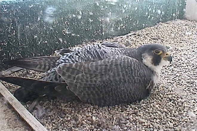 Peregrine Falcon, female, sitting on eggs, Falcon Web Cam, University of Wisconsin Milwaukee, March 29, 2016.