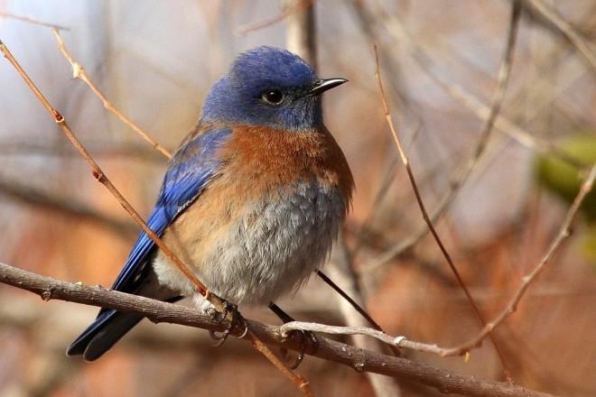 Western Bluebird by vmiller.