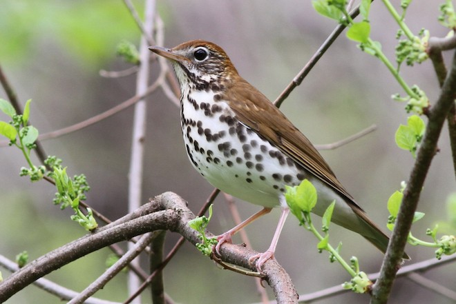 Wood Thrush crosses the Gulf of Mexico each spring. Photo by Mike Parr.