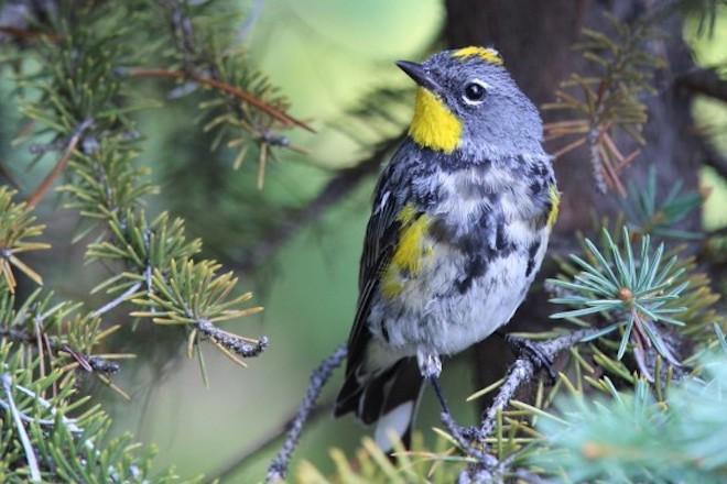 Yellow-rumped Warbler Audubon's_660x440