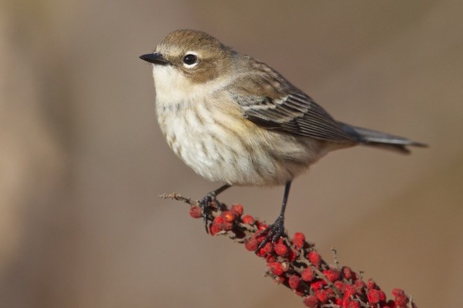 Yellow-rumped Warbler Winter_660x440