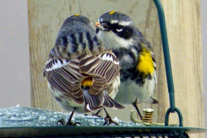 Yellow-rumped Warblers Back_660x440