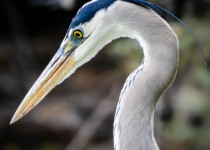 great-blue-heron-super-super-close