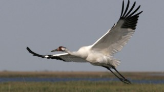 whooping-crane-660x440