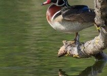 wood_duck_perched