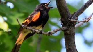 American Redstart in Castlewood Canyon State Park, Douglas County, Colorado, by Robert Martinez.