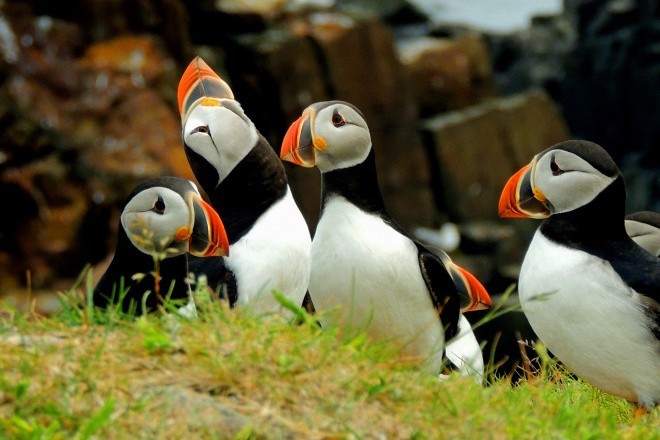 Atlantic Puffins in Elliston, Newfoundland, July 2014, by Sharon Hann.