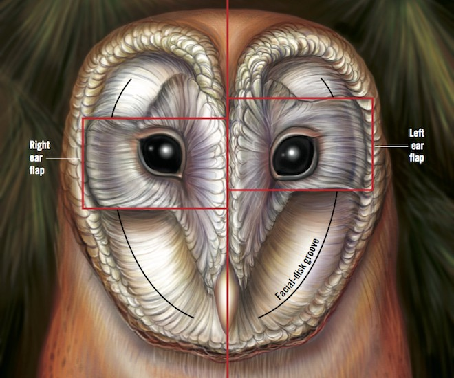 An illustration showing a Barn Owl's face without its soft outer feathers.