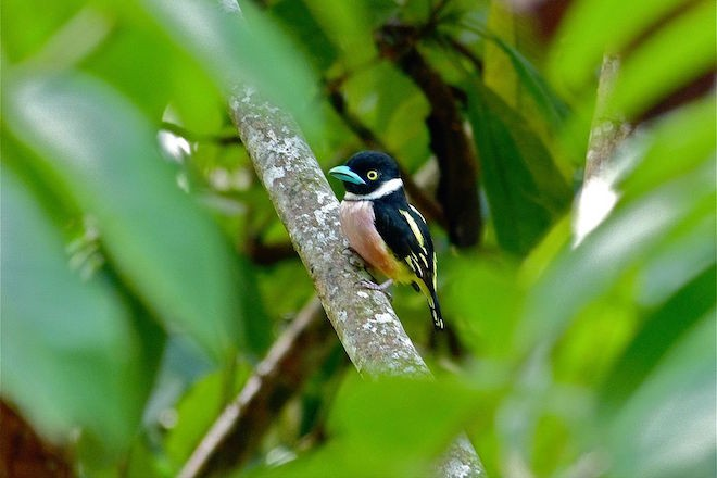 Black-and-yellow Broadbill at Bilit, Sabah, Malaysia, by Bernard Dupont (Wikimedia Commons).