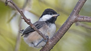 UNLOOKED-FOR FAVOR: A recently fledged Black-capped Chickadee tests its grip outside the nest. Photo by Laura Erickson.