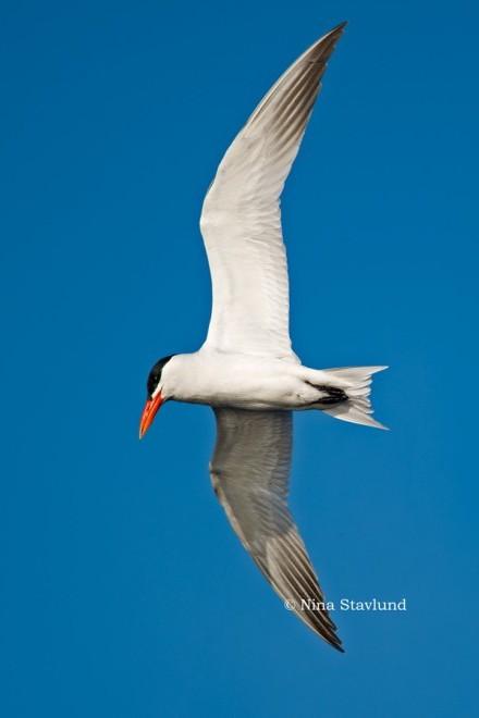 Caspian Tern in flight at Presqu'ile Provincial Park, Ontario.