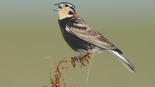 Adult male Chestnut-collared Longspur singing, by Gerrit Vyn.