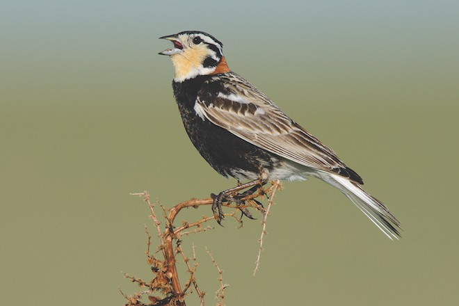 Chestnut-collared Longspur, a species of conservation concern, by Gerrit Vyn.