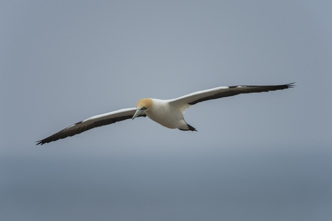 Cape Gannet at Alcatraz De El Cabo, South Africa, by Christian Sanchez Arce.