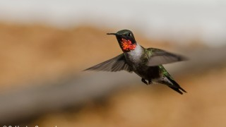 DSC0157-Ruby-throated-Hummingbird