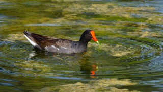 DSC0300-Common-Gallinule