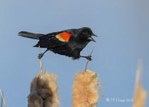Red-winged Blackbird, male, Donna Birkmaier Park, Saskatoon, Sas